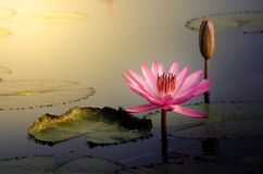 The Pink Lotus Flower. In the moring Royalty Free Stock Photo