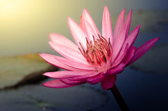 The Pink Lotus Flower Stock Photo