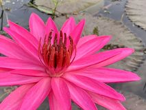Pink lotus flower in the morning. (photos&#x29 royalty free stock image