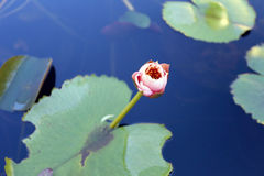 Pink lotus flower not blooming yet. Royalty Free Stock Images
