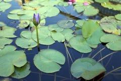 Pink lotus flower not blooming yet. Royalty Free Stock Image
