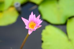 Pink Lotus flower. In the peaceful pond stock image