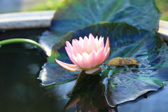 Pink lotus flower.Pink lotus blossoms or water lily flowers bloo Royalty Free Stock Photography