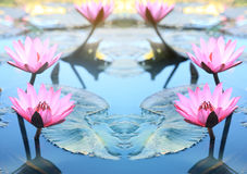 Pink lotus flower.Pink lotus blossoms or water lily flowers bloo royalty free stock photos