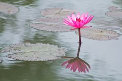Pink lotus flower. Blooming in the morning royalty free stock images