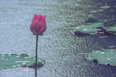 pink lotus flower poked through water in pond at public park in rainy day. Stock Image