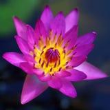 Pink lotus flower. In pond Stock Photos