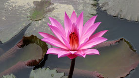 Pink lotus flower. In pond Stock Photography