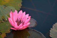 Pink lotus. Stock Photo