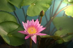The pink lotus flower in the pond royalty free stock photo