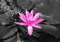 Pink Lotus Flower in the Pond on Black and White Background stock image