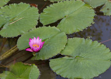 Pink lotus flower in pond Stock Photography