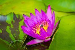 A ping lotus flower in a pool. royalty free stock photo