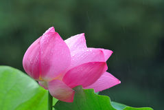 Pink Lotus flower in the rain Stock Image
