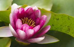 PInk Lotus Flower. Red line in the city garden Stock Image