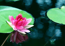 Pink lotus flower - reflection water pond blooming Stock Photo