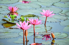 Pink Lotus Flower in Sea of Red and Pink lotus Royalty Free Stock Photography