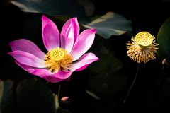 Pink Lotus Flower and Seed Pods in Black Background stock photography