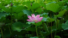 A pink lotus flower is sheltered by some leaves in pomd in summer. A pink lotus budflower is circled by some green leaves in pomd in summer.the flower is fresh stock image