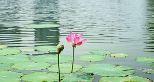 A lotus flower and a seedpod in pomd in summer. A pink lotus flower is standing in water in summer.the flower is colorful and the leaves are green.There have stock images