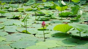 A lonely lotus flower and a bud are standing in pond. A pink lotus flower is standing in water in summer.the flower is colorful and the leaves are green stock image