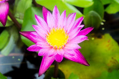 Pink lotus flower. In thailand Royalty Free Stock Image
