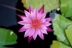 Pink lotus flower. In thailand Royalty Free Stock Photo