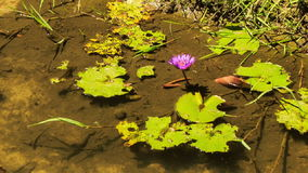 Pink Lotus Flower in Transparent Shallow Water by Grass Bank stock video footage
