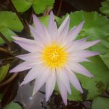 Pink Lotus Royalty Free Stock Photos