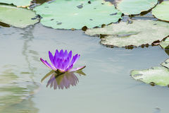 Pink lotus flower on the water Stock Photos