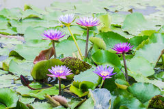 Pink lotus flower on the water Stock Image