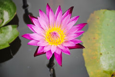 Pink lotus flower with water and leaf Royalty Free Stock Photos