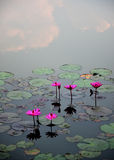 Pink lotus flower in the water Stock Photo