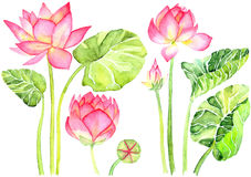 Pink Lotus Flower Watercolor Illustration. Hand painted watercolor illustration Royalty Free Stock Photo
