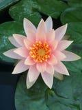 Pink lotus flower or pink waterlily flower with green leaves. A Pink lotus flower or pink waterlily flower with green leaves stock photography