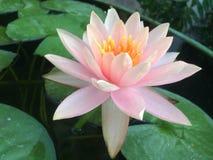 Pink lotus flower or pink waterlily flower with green leaves. A Pink lotus flower or pink waterlily flower with green leaves stock images
