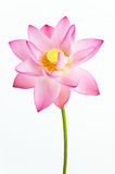 Pink lotus flower and white background. Pink water louts (water lily, sacred lotus) is in full blooming at the white background. The lotus flower is a important Stock Images