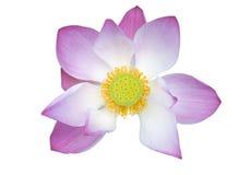 Pink lotus flower Royalty Free Stock Images