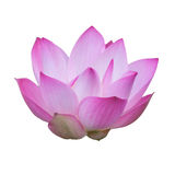 Pink lotus flower. On white background Stock Image