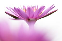 Pink lotus flower on white background. Art of beautiful pink lotus flower nature abstract blur on white background royalty free stock image