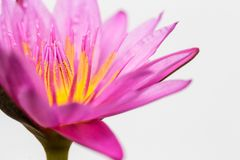 Pink lotus flower on white background. Art of beautiful pink lotus flower nature abstract blur on white background stock image