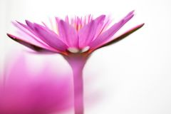 Pink lotus flower on white background. Art of beautiful pink lotus flower nature abstract blur on white background royalty free stock photos