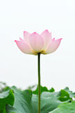 Pink lotus flower  on the white background Royalty Free Stock Photo