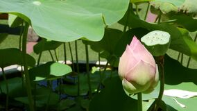 Free Pink Lotus Flower With Green Leaves In Pond. Beautiful Partly White Lotus Flower As Symbol Of Buddhism Floating On Pond Water On Royalty Free Stock Photography - 195694177