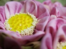 Pink lotus flower. With yellow heart Royalty Free Stock Images