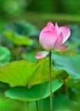 Pink Lotus flowers. In wet season Stock Images