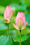 Pink lotus flowers Royalty Free Stock Photography