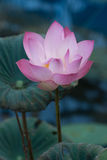 Pink Lotus Flowers. Asian Pink Lotus Flowers in the Pond on green background Royalty Free Stock Images