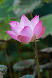 Pink Lotus Flowers. Asian Pink Lotus Flowers in the Pond on green background Stock Photo