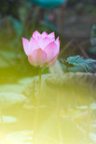 Pink Lotus Flowers. Asian Pink Lotus Flowers in the Pond on green background Stock Image